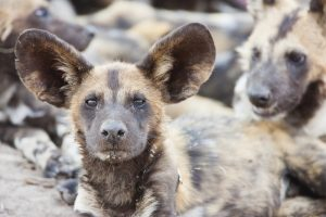 Image: 0117541048, License: Rights managed, A single wild dog (Lycaon pictus) wakes from a nap among his large pack, Khwai River, Botswana, Property Release: No or not aplicable, Model Release: No or not aplicable, Place: Botswana, Credit line: Profimedia.cz, Corbis