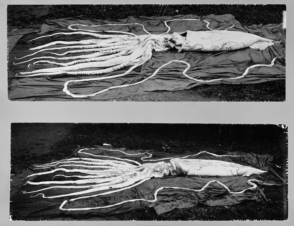 Giant Squid photo
