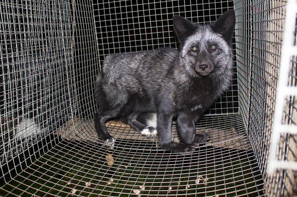 fur farm fotografia
