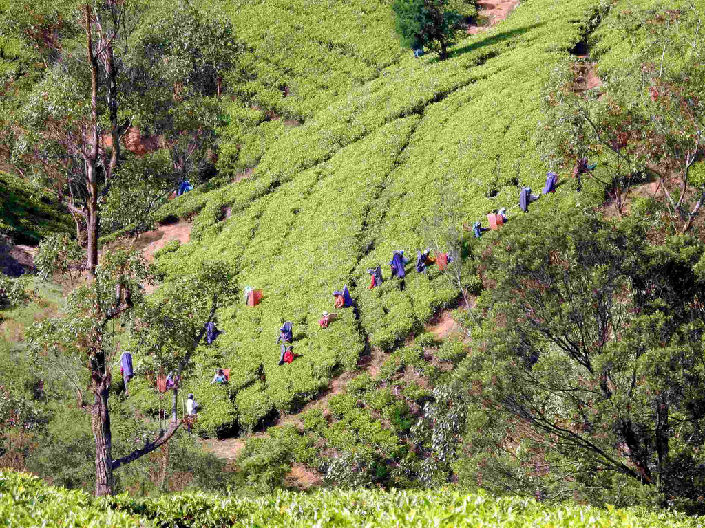 tea pickers fotografia